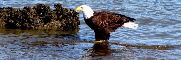 Eagle waiting for Salmon
