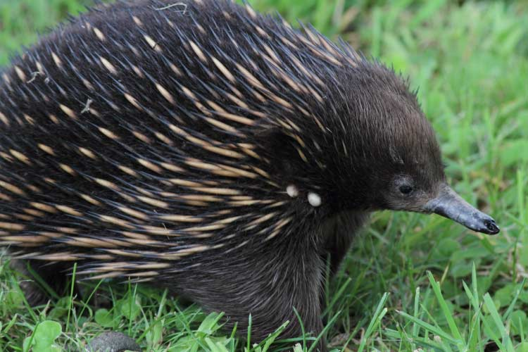An Echidna is the classic example of Australian Wildlife