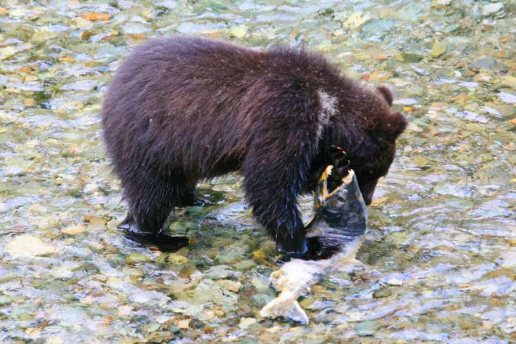 Black Bear Feeds on Salmon
