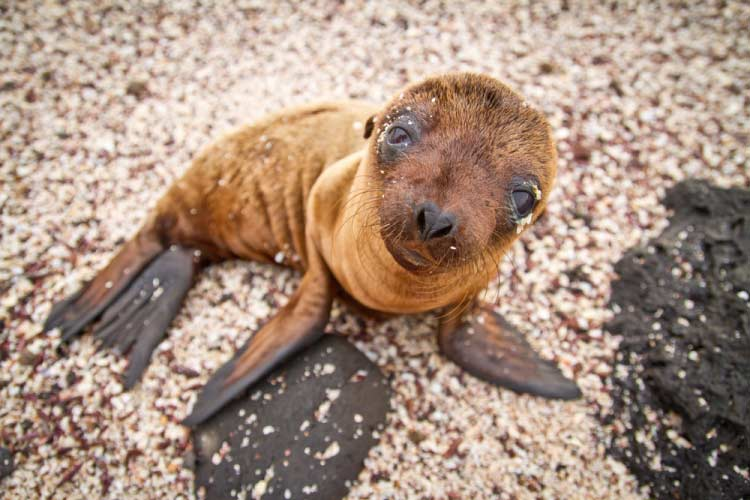 Baby Galapagos Sea Lion on beach