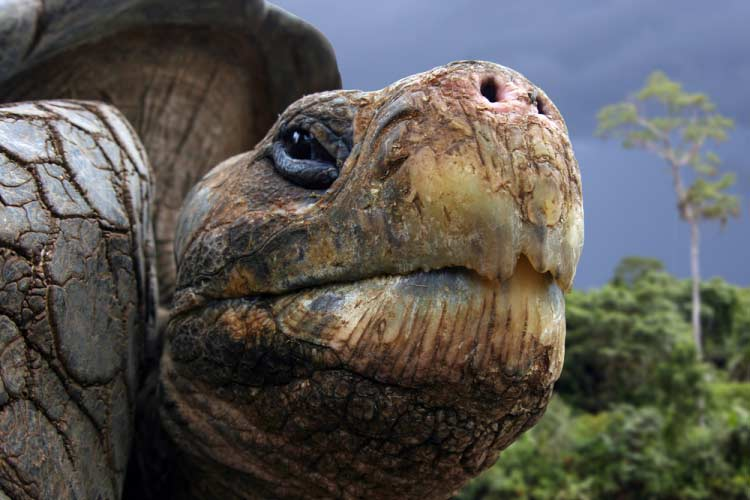Close up of Giant Galapagos Tortoise