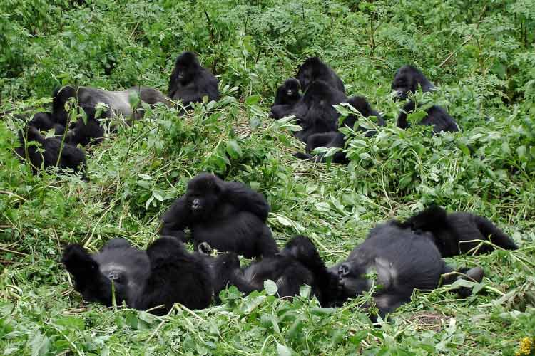 Gorilla Family in the Virunga National Park