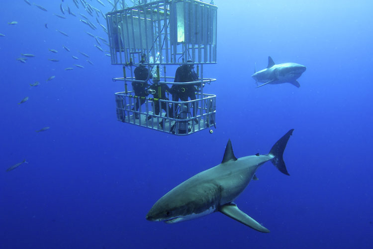 Cage Diving with Great Whites