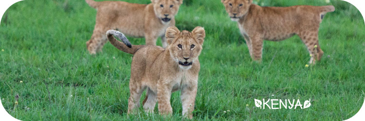 Lion Cubs in Kenya