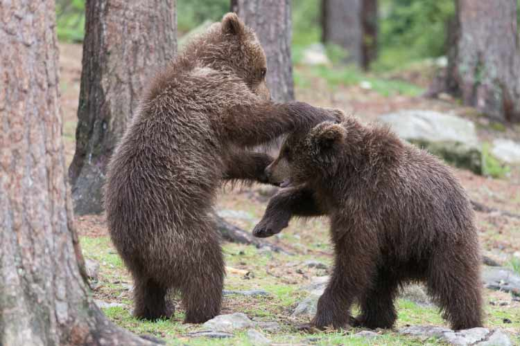 2 Brown Bear Cubs Playing around
