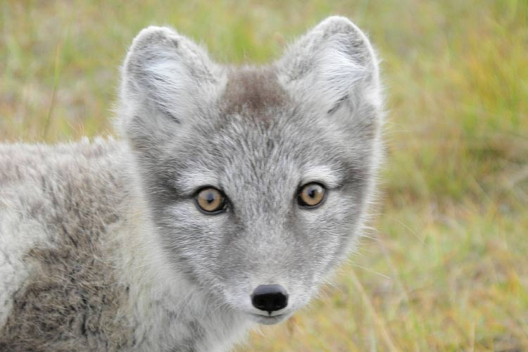 Closeup of an Arctic fox at Svalbard