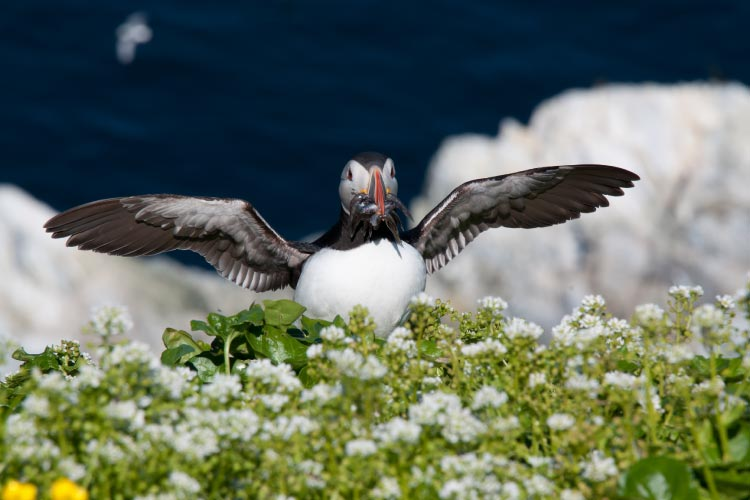Atlantic Puffin post fishing, Norway