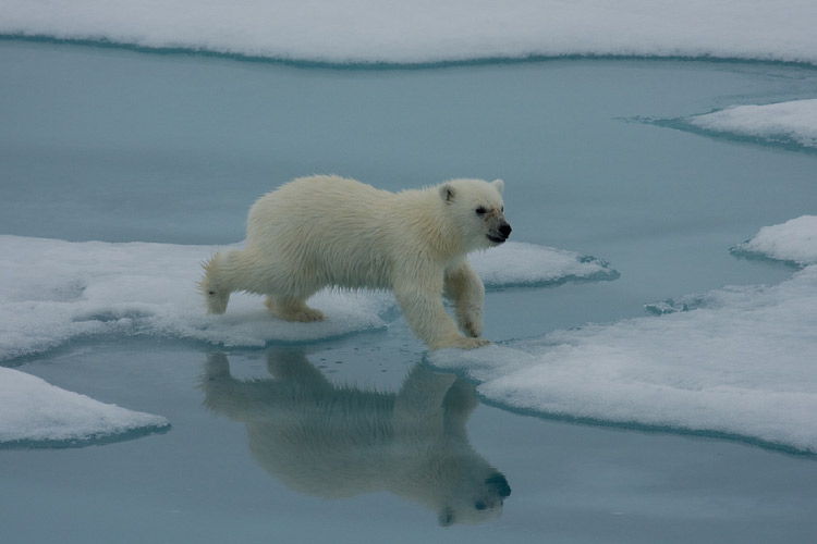 Baby Polar Bear in Svalbard