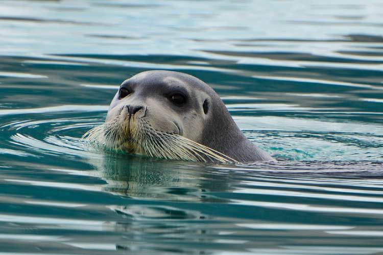 Bearded Seal at Monaco Glacier, Svalbard