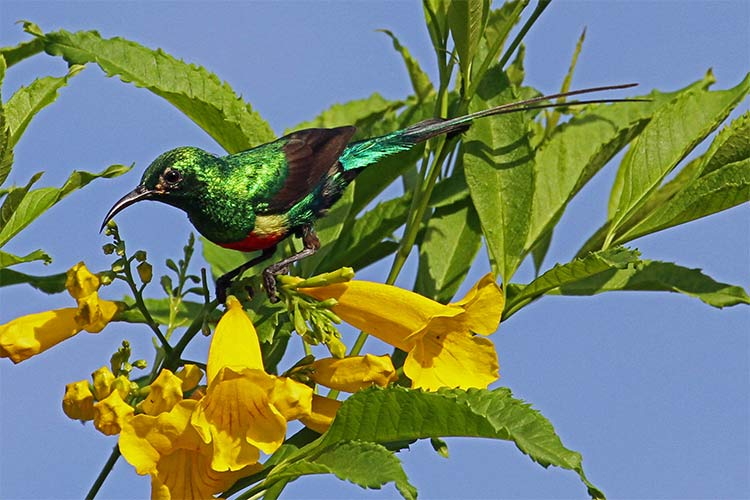 Beautiful Sunbird, the most colourful bird in Gambia