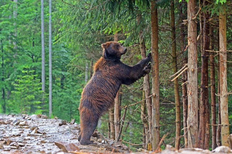 Brown bears in the Carpathians, Ukraine, Eastern Europe