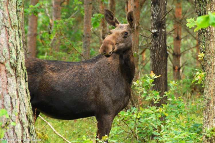 Elk in Sweedn