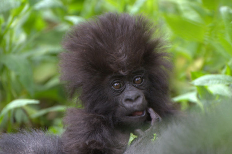 Baby Gorilla, Virunga National Park, DRC