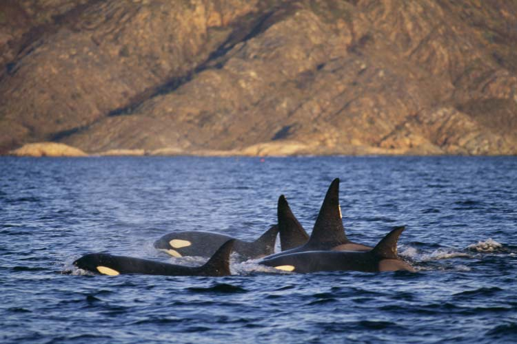Group of killer whales, Norway