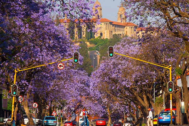 Jacaranda Trees with the Union Buildings