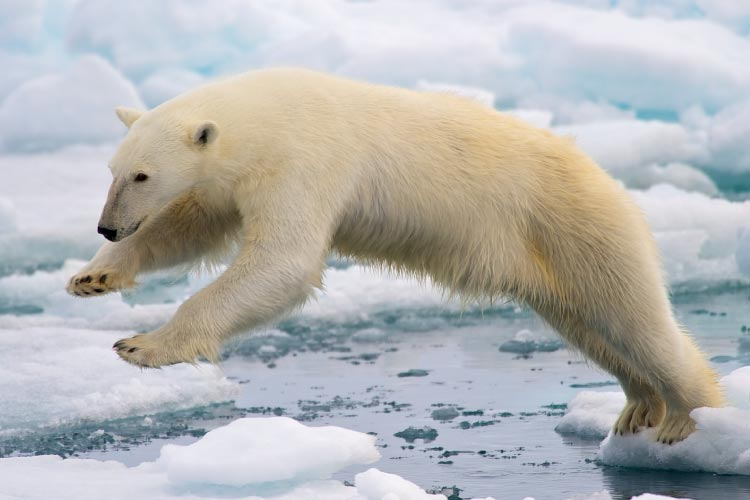 Male Polar Bear jumping in the pack ice in Svalbard, Norway