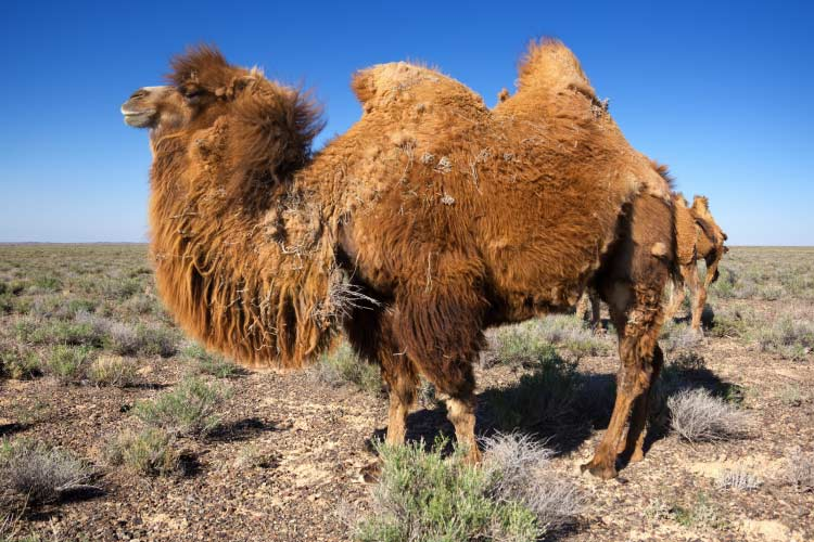 Molting brown bactrian camel in desert of Kazakhstan, Central Asia