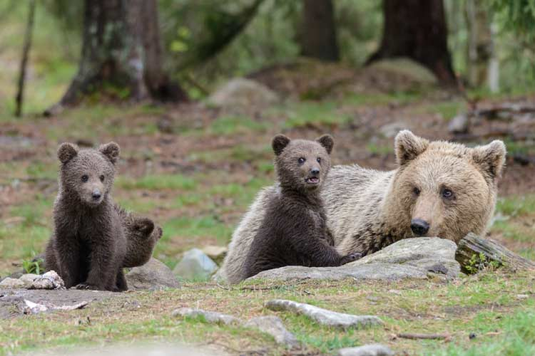 Mother bear with cubs