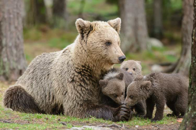 Mother bear and 3 cubs - Incredible European Animals