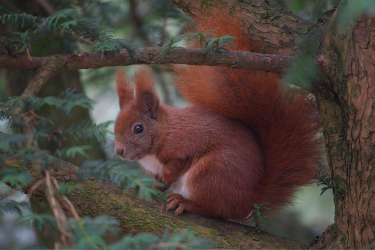 Red Squirrel in Denmark