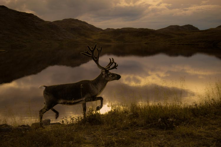 Reindeer close to the North Cape, Norway
