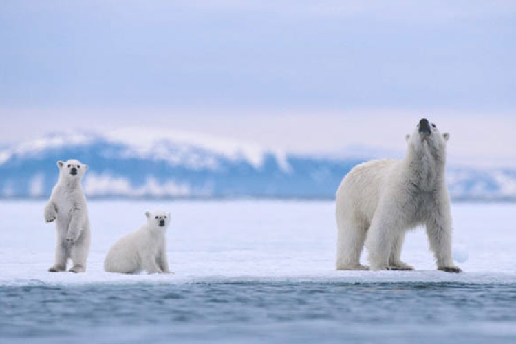 Svalbard Archipelago, Norway. Polar Bear Mother and Cubs on Sea Ice