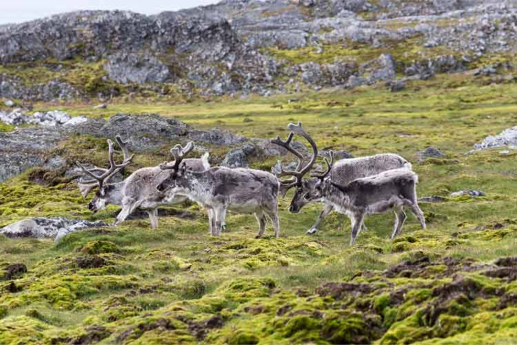Svalbard Reindeer herd, some of the most beautiful European Animals
