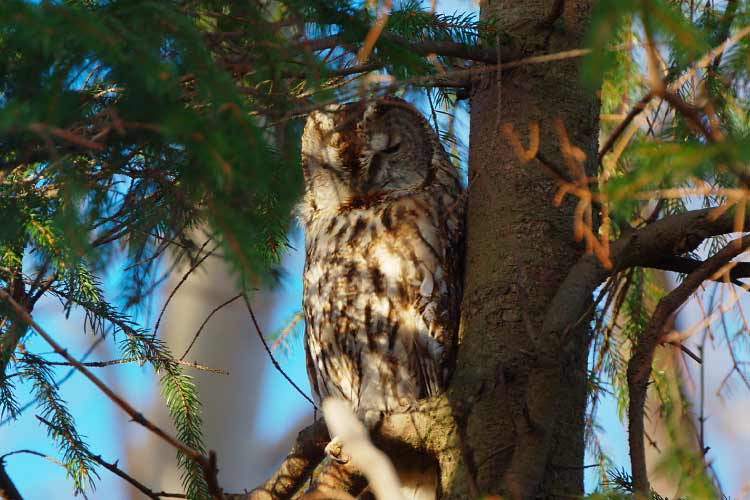 Tawny Owl in Gotaland Sweeden
