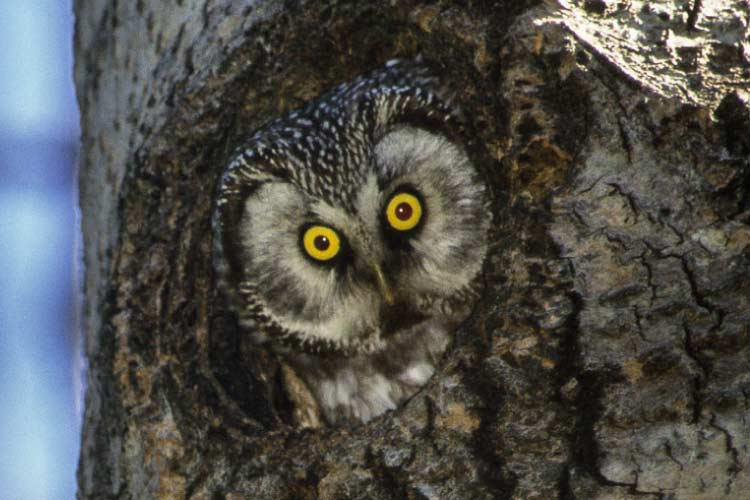 Tengmalm Owl in Finland