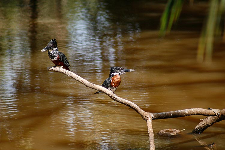 The Giant Kingfisher in Banjul, The Gambia