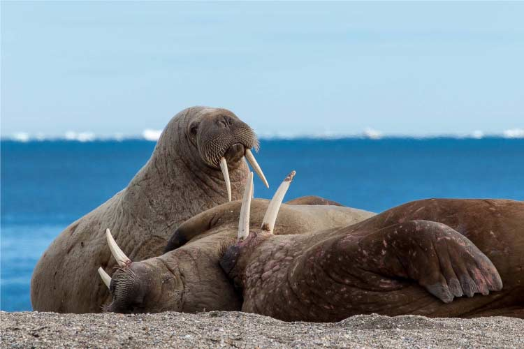 Walrus in Svalbard, some of the most impressive european animals