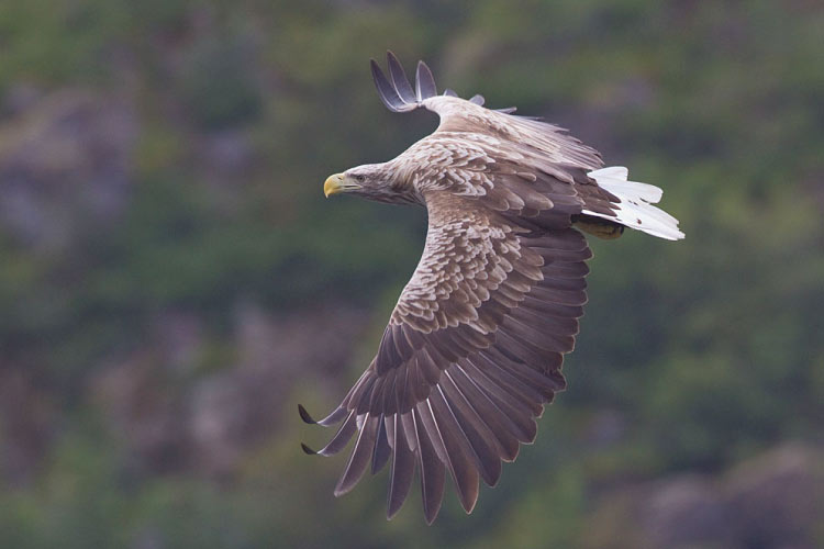 White tailed Eagle Norway