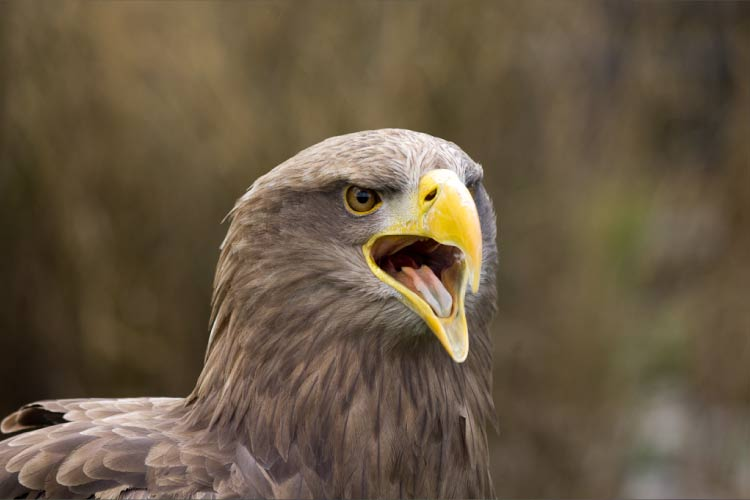 Face of the White tailed Eagle Norway