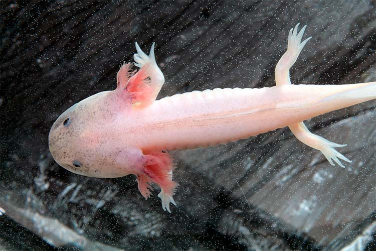 An Axolotl, one of the strangest animals in the world!