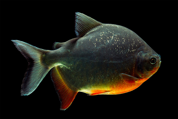 Cachama or Pacu fish, one of the strangest animals in the world