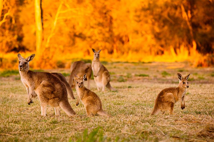 Herd of kangaroos at twilight, Coombabah Lake, QLD, Australia