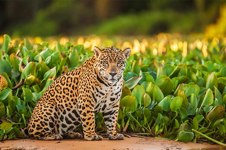 Jaguar in the Amazon in Western South America