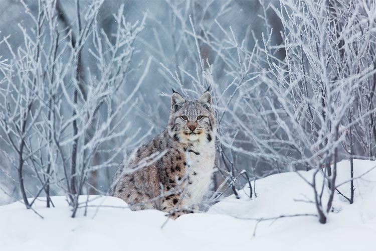 Lynx in Norway
