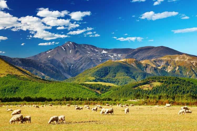 Web-Mountain-landscape-with-grazing-sheep,-New-Zealand