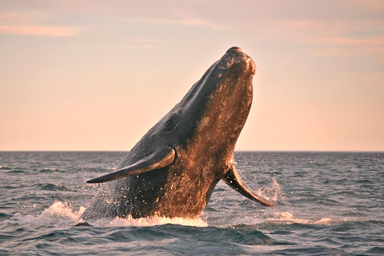 Powerful Whale in Patagonia, Southern South America