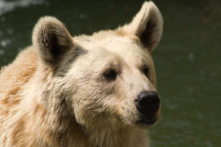 Syrian brown bear found in northern Middle East