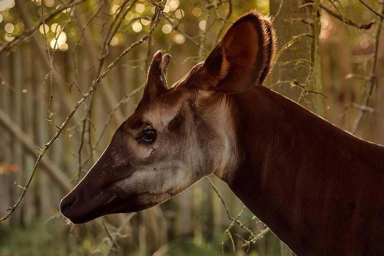 The Rare Okapi