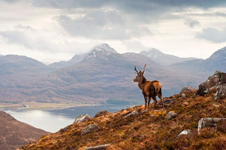 Wild stag overlooking Loch Torridon in Scotland, British Isles