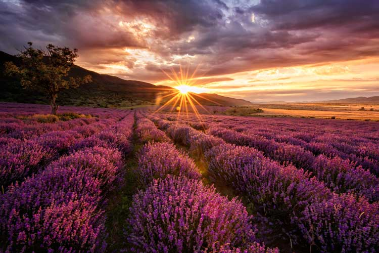Lavender Field at Sunset in Bulgaria
