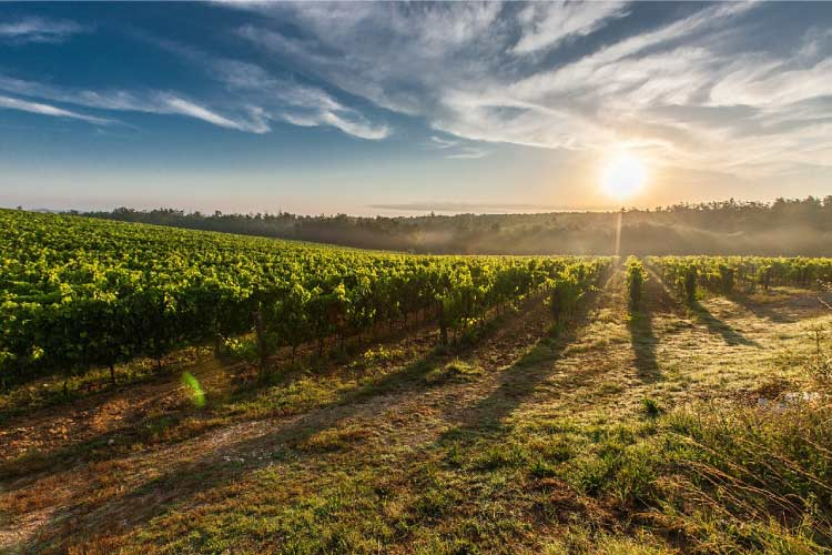 Sun Setting over a vineyard in Tuscany