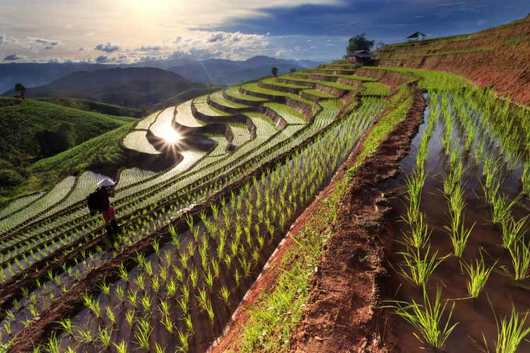 Rice fields at Chiang-Mai, Thailand