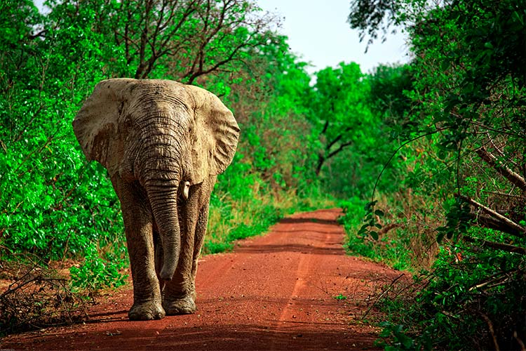 African elephant in Mole National Park, Ghana