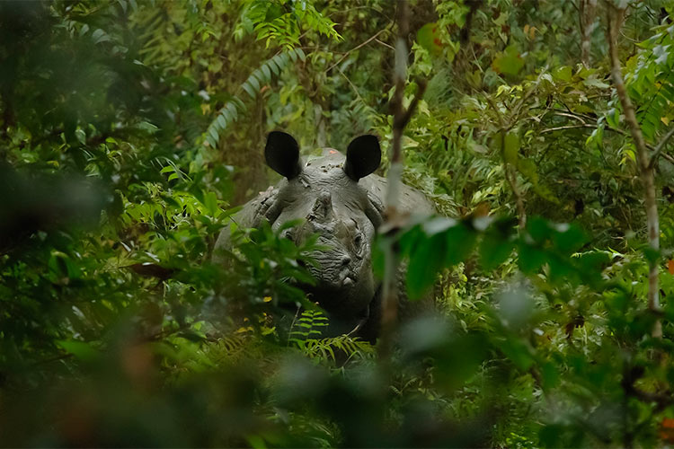 One-Horned Rhinoceros in the Jungle of Nepal