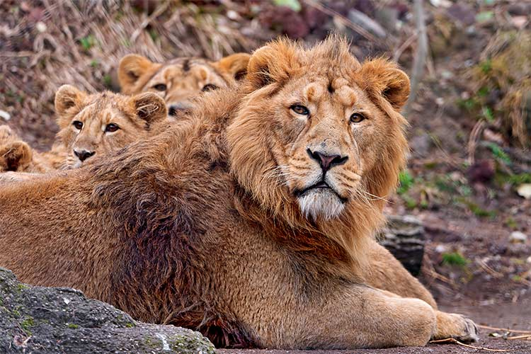 Asiatic Lion and cubs