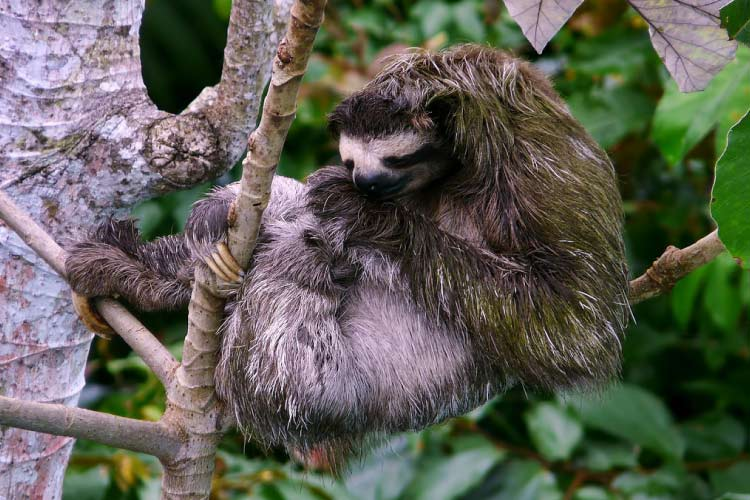 the brazillian three toed sloth essay Find information about academic papers by north of pernambuco state, brazil the article presents information on the three-toed sloth which is a mammal that.